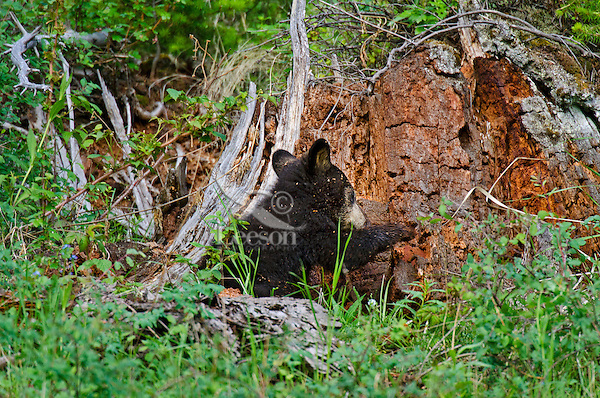 """Wild Black Bear (Ursus americanus) cub.  Western U.S., spring. (This is what is known as a """"coy""""--cub of the year.)  Playing/investigating old tree stump--will be covered by wood chips before it is done--see photos #F7A4986, 4996, 4998 and 5002."""