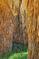 Palm trees at McCallum Pond. Coachella Valley Preserve. California