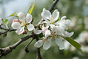 """Blossom of Apple 'Worcester Pearmain', early May. A late 19th century English dessert apple from St Johns near Worcester. """"Remains widely popular garden apple. Its bright fruits and distinctive blossom - almond opening to silvery white - led to its decorative use in shrubbery in 1890s."""" ('The New Book of Apples' by Joan Morgan and Alison Richards)"""