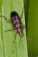 Seidiger Rohrkäfer, Plateumaris sericea, reed beetle, reed-beetle