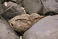 Black Oystercatcher (Haematopus bachmani) chick concealing itself in coastal rocks. St. Lazaria Island, Alaska. June.
