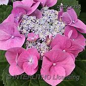 Gisela, FLOWERS, BLUMEN, FLORES, photos+++++,DTGK2350,#F#, EVERYDAY