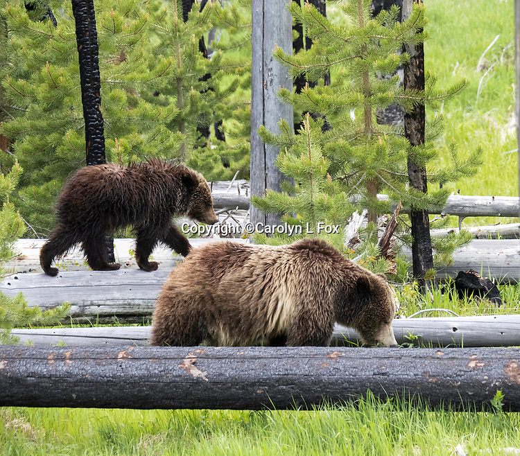 Grizzly bears Raspberry and her cub Rascal walk through the deadfall in Yellowstone.