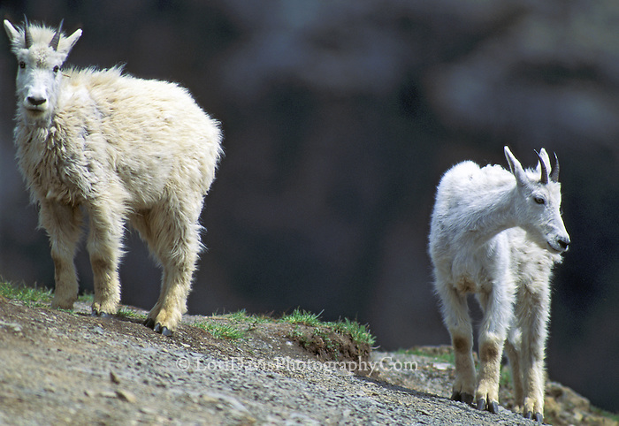 Young Mt. Goats