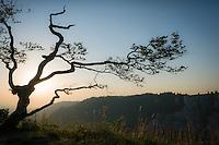 Birch at sunrise