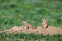 Black-tailed Prairie Dog  (Cynomys ludovicianus) family at densite burrow.