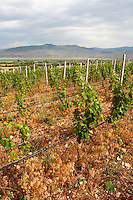Vines. Vineyard. Traminer. Amyntaion wine cooperative, Amyndeon, Macedonia, Greece