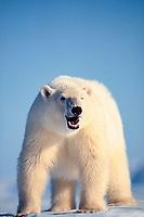 polar bear, Ursus maritimus, Spitzbergen, Norway, North Atlantic Ocean, polar bear, Ursus maritimus