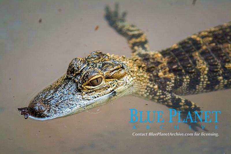 Baby American Alligator Alligator mississippiensis Florida