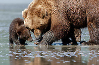 Brown Bear sow and spring cubs search for clams on mud flats on coast of Lake Clark National Park.  Silver Salmon Creek area.  Chigmit Mountains Western Alaska  Summer<br /> <br /> Photo by Jeff Schultz/  (C) 2020  ALL RIGHTS RESERVED