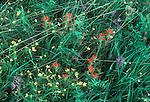 San Juan Islands; Yellow Island; wildflowers; Nature Conservancy Preserve; Washington Chapter; Washington State, Pacific Northwest, U.S.A.,.