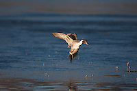 Northern Pintail (Anas acuta) adult landing, Bosque del Apache National Wildlife Refuge , New Mexico, USA