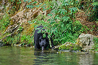 Black Bear (Ursus americanus) drinking from stream.   Northwest coastal area.  Summer.