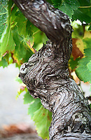 A branch of a very old vine with gnarled wrinkled bark in Collioure, Languedoc-Roussillon, France