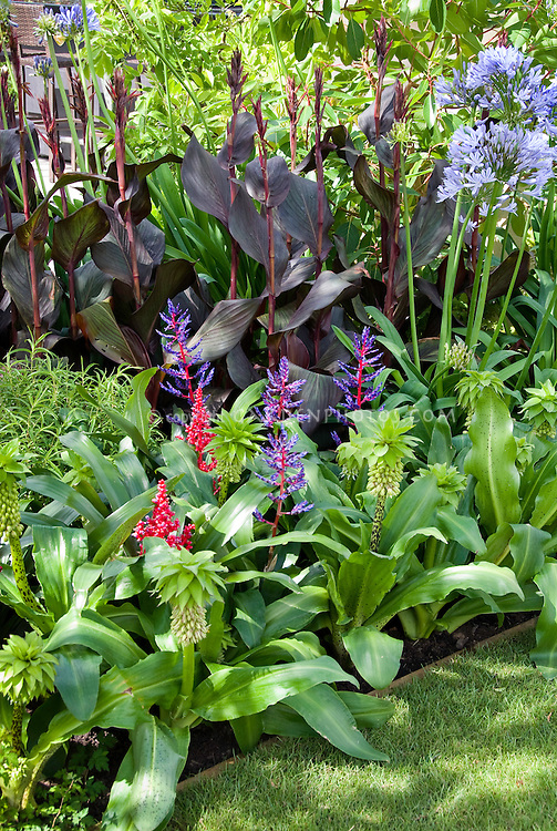 Eucomis bicolor with ? need id tropical flowers with Agapanthus and Canna, Annual Summer flowering bulbs mixed together