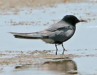 Adult black tern in breeding plumage on beach at Bolivar Point, TX