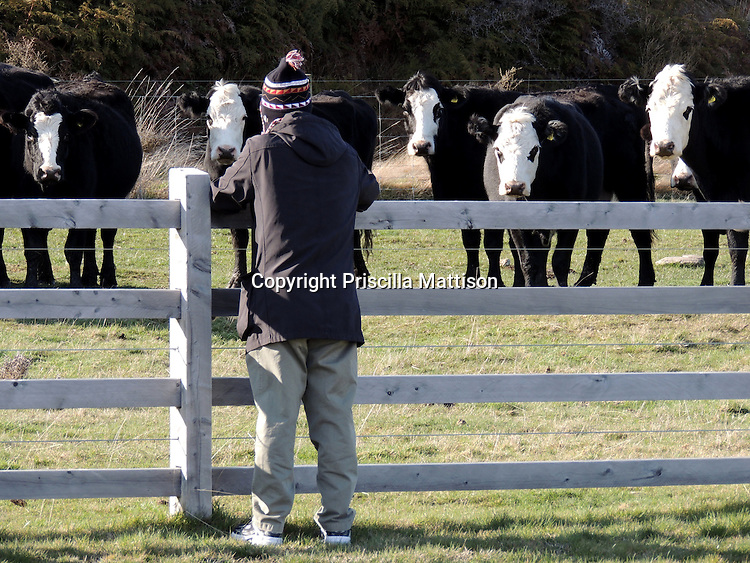 Near Queenstown, New Zealand - September 13, 2012:  Holstein cows stare at a man across a fence.