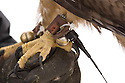 00432-028.05 Falconry (DIGITAL) Close-up of red-tailed hawk's foot shows talons, bells, and telemetry.  H6L1