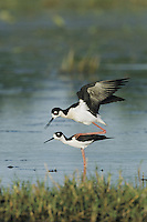 Black-necked Stilt (Himantopus mexicanus), pair mating, Sinton, Coastel Bend, Texas, USA
