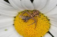 Krabbenspinne, Sumpf-Krabbenspinne, Sumpfkrabbenspinne, Weibchen auf Blüte mit erbeuteter Fliege, Xysticus ulmi, Swamp crab spider, Krabbenspinnen, Thomisidae, crab spiders