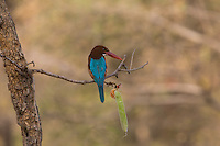 White-throated Kingfisher in Zone 5 of Ranthambhore Tiger Reserve in Rajasthan, India