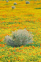 California poppies (Eshscholtzia californica) Goldenfields (Lasthenia californica) and rabbit brush. Near Lancaster, California