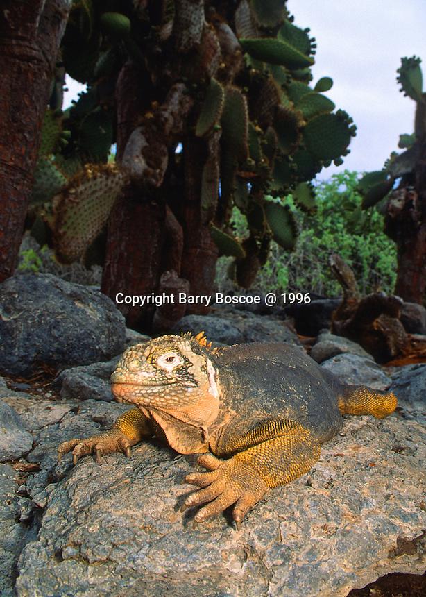 Galapagos Land Iguanas (Conolophus subcristatus) in Galapagos Islands, Equador.