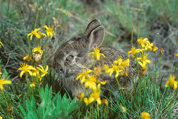 Young mountain cottontail rabbit or Nuttall's Cottontail (Sylvilagus nuttallii) among groundsel blossoms