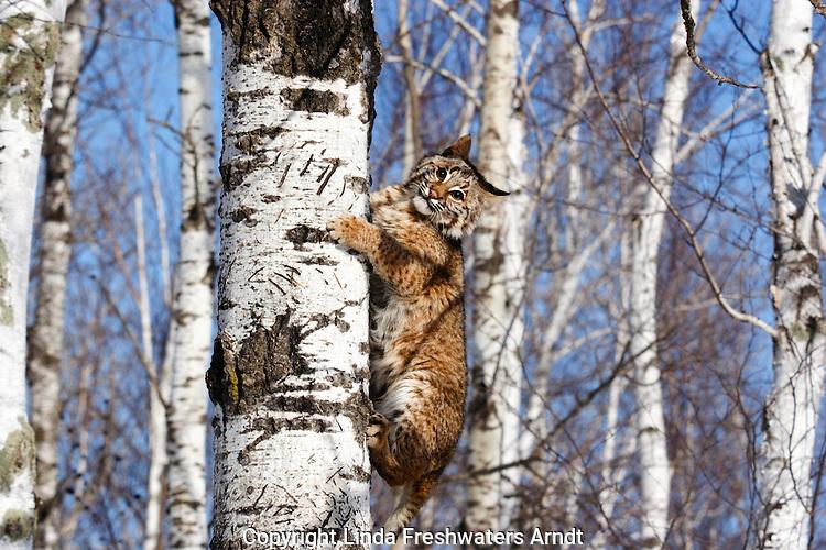 Bobcat (Lynx rufus) clinging to a tree.  Winter.  Minnesota.