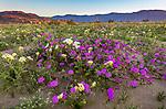 Anza-Borrego Desert State Park, CA:  A field of desert wildflowers featuring dune evening primrose (Oenothera deltoides), desert sand verbena (Abronia villosa), brown-eyed primrose (Camissonia claviformis) and desert sunflower (Geraea canescens) in Borrego Valley at sunrise