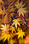 Autumn leaves, select focus