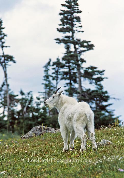 Mountain Goat on Hillside  #G10