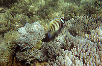 Océanie/Australie/Queensland/env de Port Douglas/Iles Douglas/Iles Low: Grande barrière de Corail poisson papillon