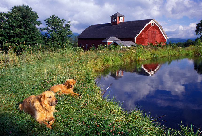 dogs, Vermont, VT, Two Golden Retrievers (mother & puppy) lie next to a pond on a farm with a red barn in Warren.