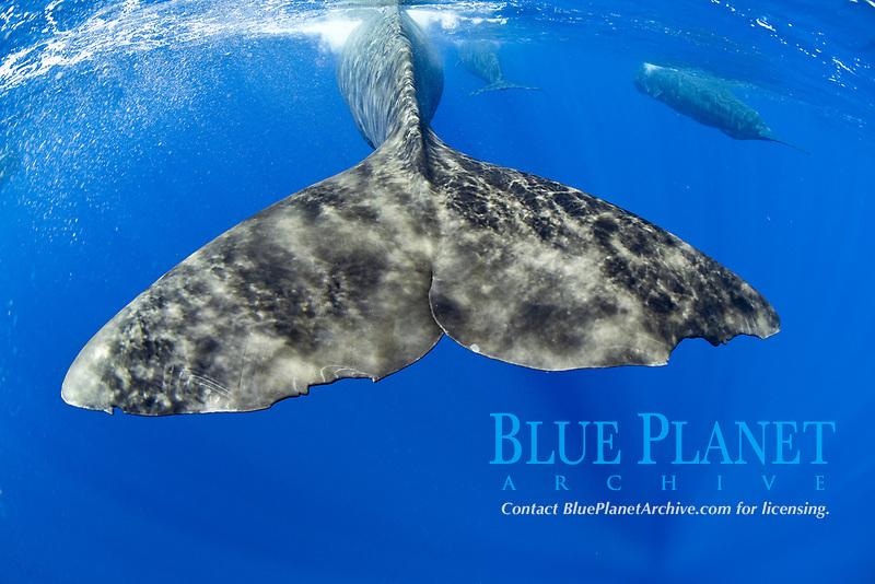 sperm whale, Physeter macrocephalus, Dominica, Caribbean Sea, Atlantic Ocean, photo taken under permit #P 351/12 W-2
