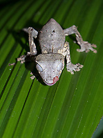 Baweng Satanic Leaf Gecko (Uroplatus phantasticus) in the rainforest of Andasibe, eastern Madagascar, Madagascar, Africa