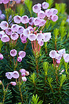 Pink Mountain Heather, Phyllodoce empetriformis near Alta Vista overlook in the Paradise area of Mount Rainier National Park.