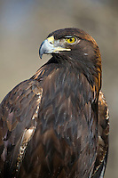 A portrait image of a Golden Eagle, Awuila chrysaetos at the Rocky Mountain Raptor Center