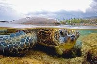 """Green Sea turtle, Hawaii, Chelonia mydas, """"Honu"""" , Split image, Kona Coast, Big Island, Hawaii, USA, Pacific Ocean"""