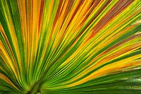 Colorful palm leaf,. Anza Borrego, California