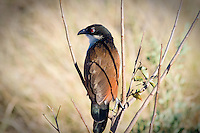 Burchell's Coucal, Kruger NP, SA