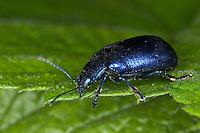 Blattkäfer, Pestwurz-Blattkäfer, Oreina cacaliae oder Oreina speciosissima, Chrysochloa cacaliae oder Chrysochloa speciosissima, Leaf beetle