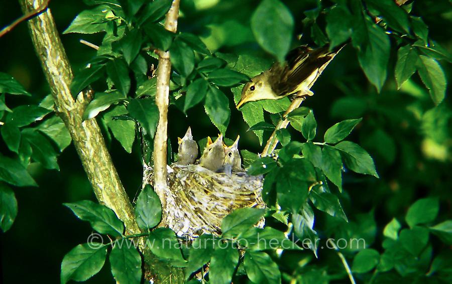 Gelbspötter, Altvogel füttert Küken im Nest, Spötter, Hippolais icterina, Icterine Warbler, nest, L'Hypolaïs ictérine