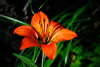 Beautiful, bright orange wood lily basking in the sun light in the Kootenai National Forest in Montana