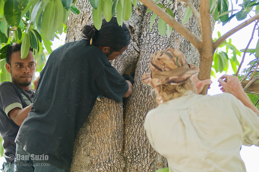 Timorese student Laca Ribeiro captures a tokay gecko, Gekko gecko, in a tree in the Liquica district of Timor-Leste (East Timor), while fellow student Luis Lemos (left) and British herpetologist Mark O'Shea watch. They are participating in an ongoing survey of Timorese reptiles and amphibians.