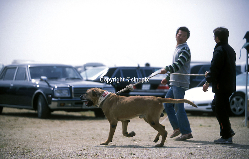 A man walks his Tosa next to the luxury cars belonging to the Yakuza at a dog fighting event held in Nagasaki, Japan. .