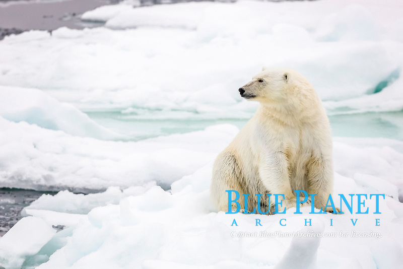 Adult polar bear, Ursus maritimus, stretching on first year sea ice in Olga Strait, near Edgeoya, Svalbard, Norway
