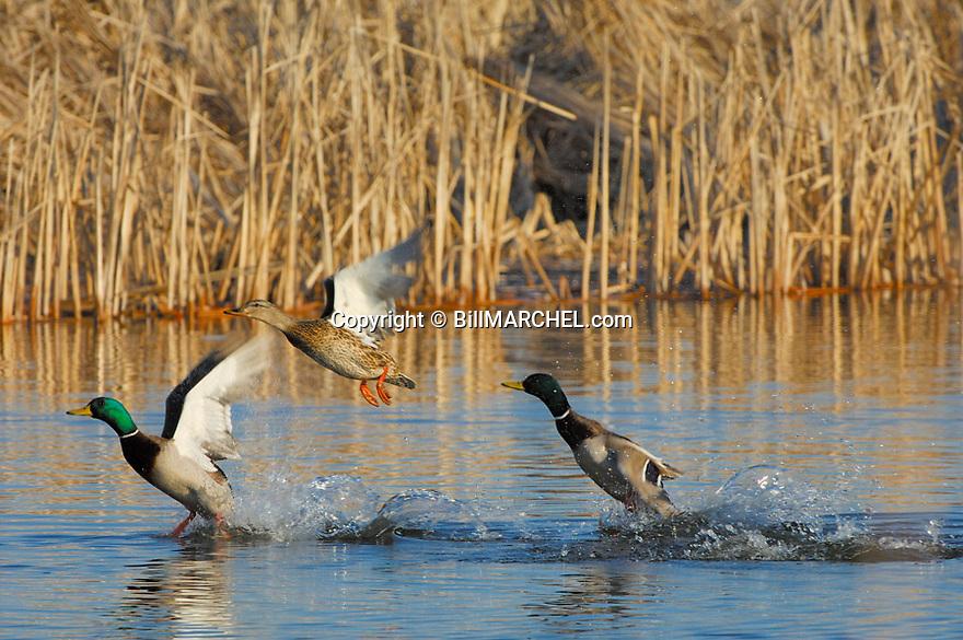 00330-068.06 Mallard Duck (DIGITAL) Three birds are taking flight from a cattail marsh. Waterfowl, hunt, pothole.  H2L1