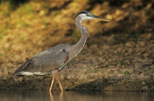 Great Blue Heron, Ardea herodias, adult in pond, Starr County, Rio Grande Valley, Texas, USA, May 2002