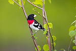 Male rose-breasted grosbeak perched in a speckled alder.